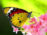 Beautiful Butterfly Desktop Wallpapers (2)