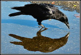 Crow and Reflection