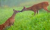 Mile 0433 Kissing Deer