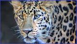 ^ Leopard, Hogle Zoo, Salt Lake City, Utah