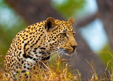 Young Leopard...