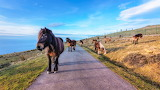 Horses wandering along coast of france