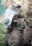 Rare baby camel named Ilias at Budapest Zoo