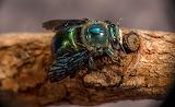 Green Carpenter Bee Australia CC0