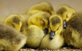 Cute-duckling