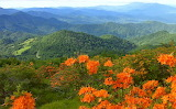 Flaming Azaleas on Roan Bluff