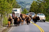 bisons in Yellowstone National Park,USA