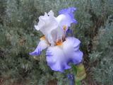 Flowers - Iris & Bee