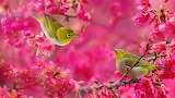 Japanese-white-eye-bird