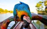 Beautiful-macaw