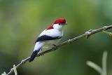 araripe manakin bird
