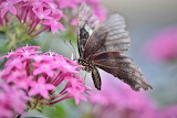 Butterfly-pink flowers