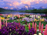 field of flowers with moutains