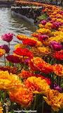 FB tulipes bonjour
