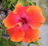 ^ Tahitian Orange Fire Hibiscus