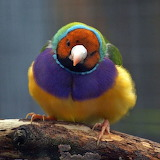 "Birds tumblr amnhnyc ""The Gouldian Finch"" ""Erythrura gouldiae"" A"
