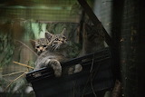 Scottish Wildcat kittens