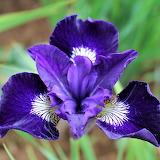 Iris 'Blue King'