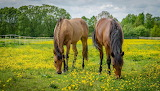 The horses graze in a flowery meadow