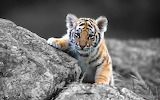 Baby-tiger-rocks