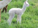alpaca babe