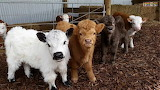 Mini herd