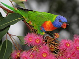 Rainbow lorikeet loving the Corymbia flowers
