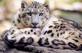 Reclining Snow Leopard