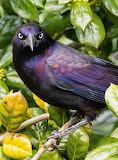 Birds - Common Grackle - Virginia