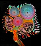 """Science Colossal """"""""Acillius diving beetle male front tarsus"""" """"Ig"""