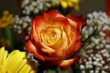 Most-beautiful-yellow-red-rose