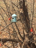 pretty red cardinals