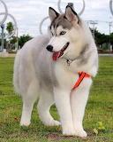 Gos - Dog