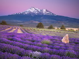 Lavender Farm Near Mount Shasta California