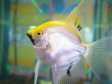 Yellow and silver fish