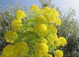 Wildflower Fennel Greece