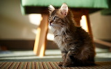 Bokeh-room-baby-cat-rug-look-chair