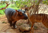 Orphan hippo & kudu ~ Kenya