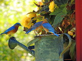 Bluebirds on the watering pail
