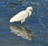 "Snowy Egret ""Egretta thula"""
