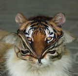 A Tiger In Cat's Clothing
