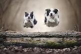 ^ Border Collie leap