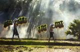 """Landscape tumblr natgeoyourshot """"rice seedlings"""" """"Sakon Nakhon,"""