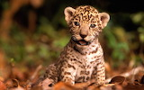 Baby_Jaguar_Kitten[1]