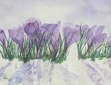 crocus in snow, Anne Martens watercolour