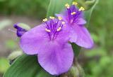 Wildflower Spiderwort