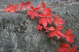 Virginia Creeper in Autumn Color