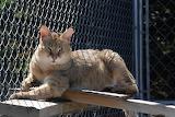 Jungle Cat Abby