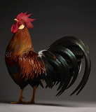 Inspiring Most Beautiful Rare Chickens Breeds on The Planet (15)