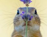 Tête d'une marmotte amatrice de fleurs (Geo)